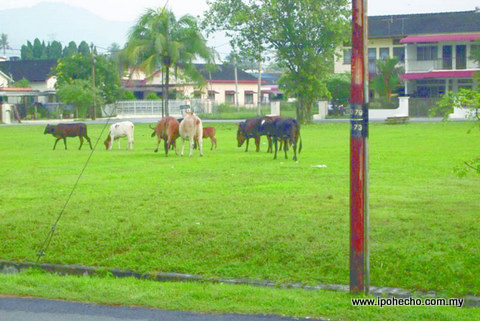 Cows grazing in the field at playground Jalan Lumut, Lim Gardens