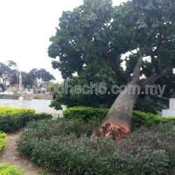 Ipoh's Iconic Tree Uprooted