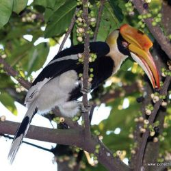 Royal Belum Welcomes 10 Different Hornbill Species