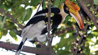 Photo of Royal Belum Welcomes 10 Different Hornbill Species