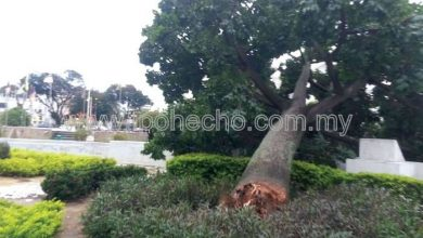 Photo of Ipoh's Iconic Tree Uprooted