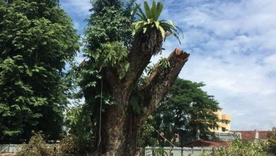 Photo of Iconic Rain Tree Felled