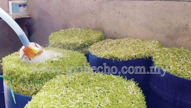 Photo of Producing Bean Sprouts