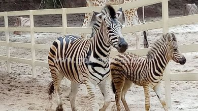 Photo of Park Welcomes Baby Zebra