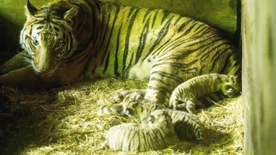 Photo of Birth of Tiger Cubs