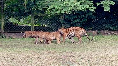 Photo of Harimau Malaya Cubs Under Adaptation Exercise