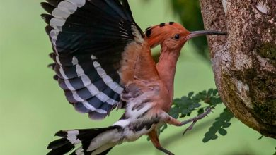 Photo of A Pair of Nesting Hoopoes at Taiping Lake Gardens