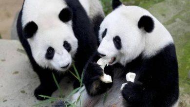 Photo of Giant Panda Liang Liang Gave Birth to Third Cub