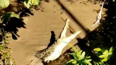 Photo of Crocodiles on Screen!