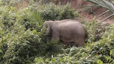 Photo of Elephant to be Moved to Taman Negara
